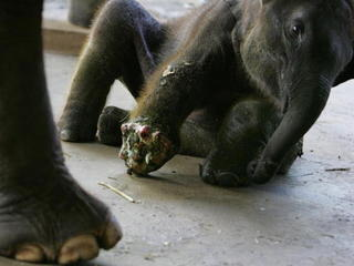 Elephant in Thailand gets much-needed prosthetic