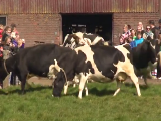 WATCH: Cows jump for joy after being let outside