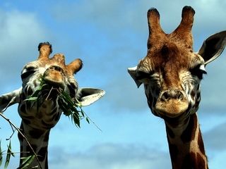 Giraffes are under threat of extinction