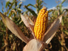Mexico to introduce bill to stop buying US corn