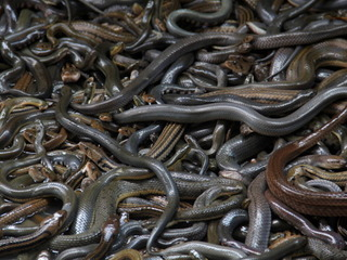 Snakes are now hunting in packs