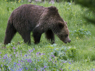 Yellowstone grizzly bear protections to end