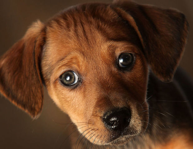 Outbreak of human Campylobacter linked to pet store puppies
