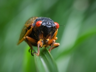 Get some earplugs: The cicadas are coming