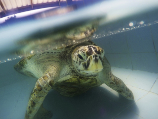Turtle dies after swallowing 915 'lucky' coins
