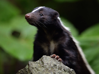 Skunk tests positive for rabies
