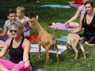 Goats invade yoga classes across the nation